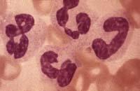 Явление пищевого лейкоцитоза