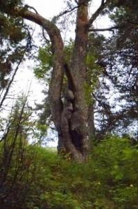 Мужское дерево
